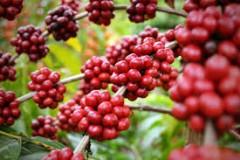 Plantação de café no Espírito Santo